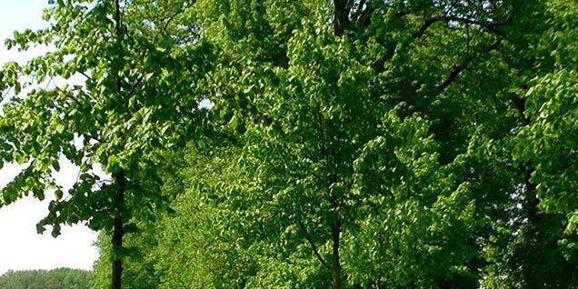 Neupflanzungen von Linden in der Allee © Rosenau/WItt