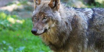 Der heimische Wolf © Spangenberg