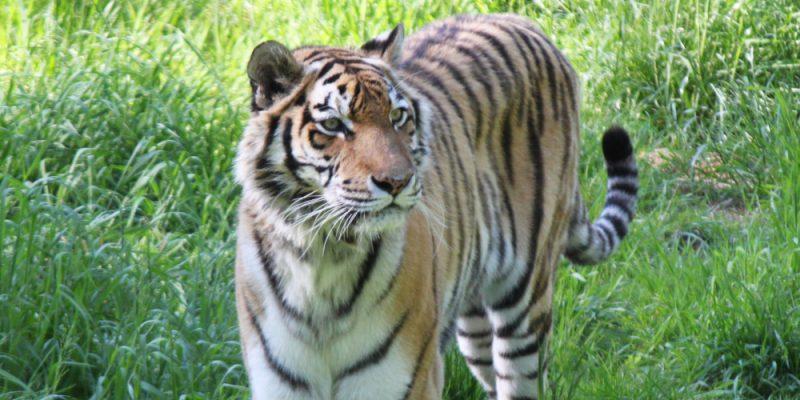 Der sibirische Tiger © Spangenberg
