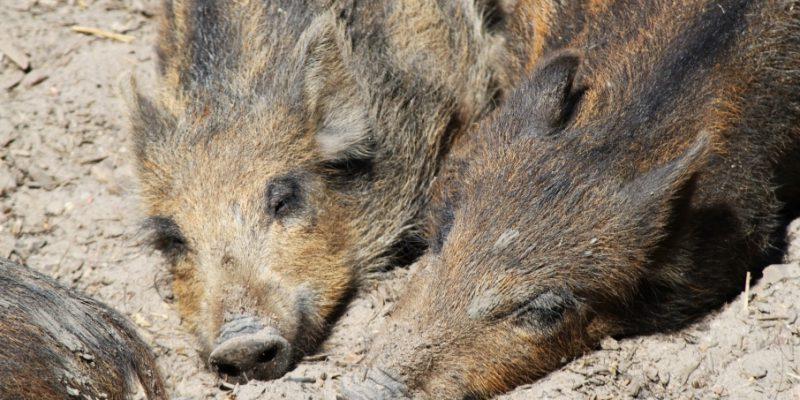 Zwei Wildschweinfrischlinge © Spangenberg