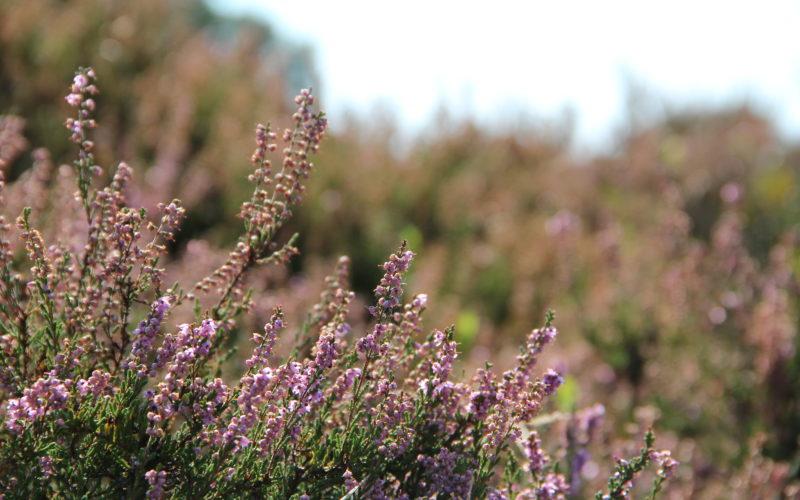 Blühende Besenheide © May/Trampe