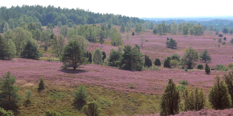 Ausblick vom Wilseder Berg auf den Totengrund mit blühender Heidelandschaft © May/Trampe