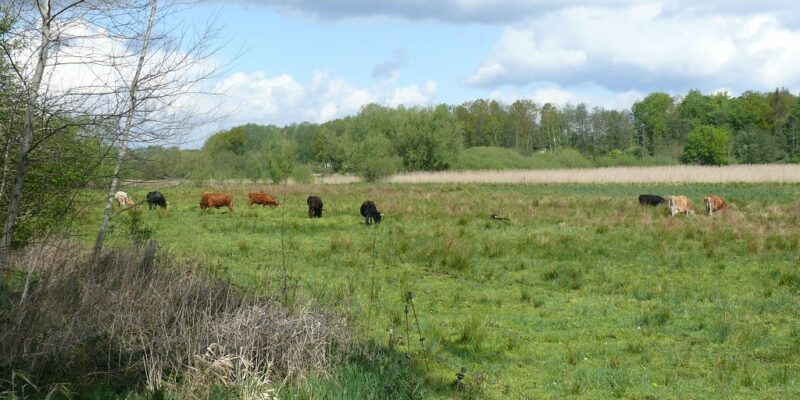Rinder auf der Feuchtwiese © Stumpe